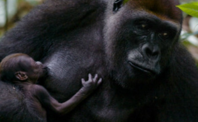 breastfeeding gorilla